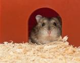 Dwarf Hamster - 6 weeks old