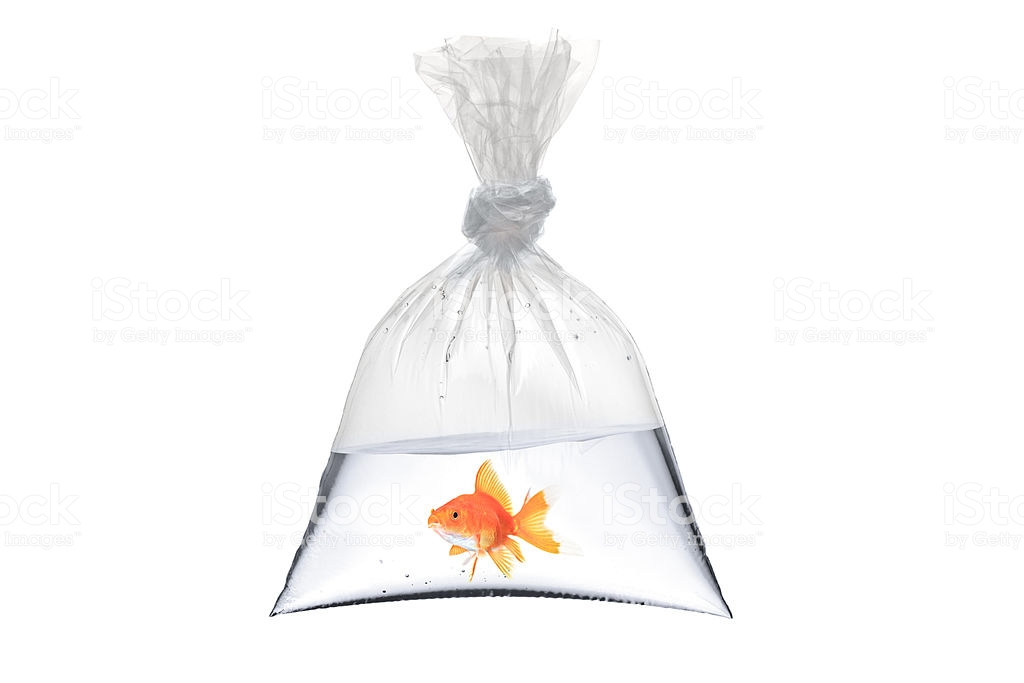 A view of a golden fish in a bag isolated on white background