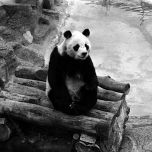 Chi Chi the Panda